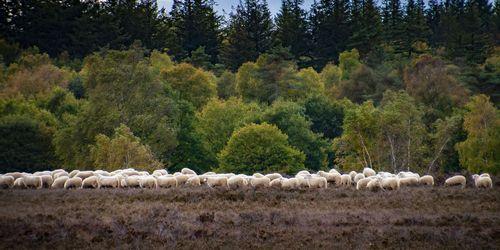 sheep-4526255_1920